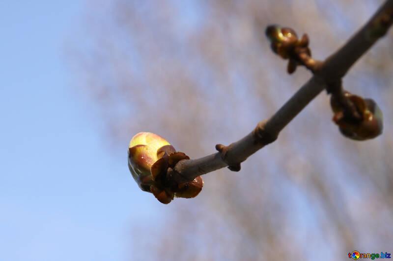 Sprig Chestnut spring №1772