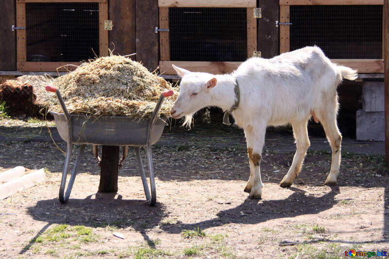 Goat and wheelbarrow with manure №1281