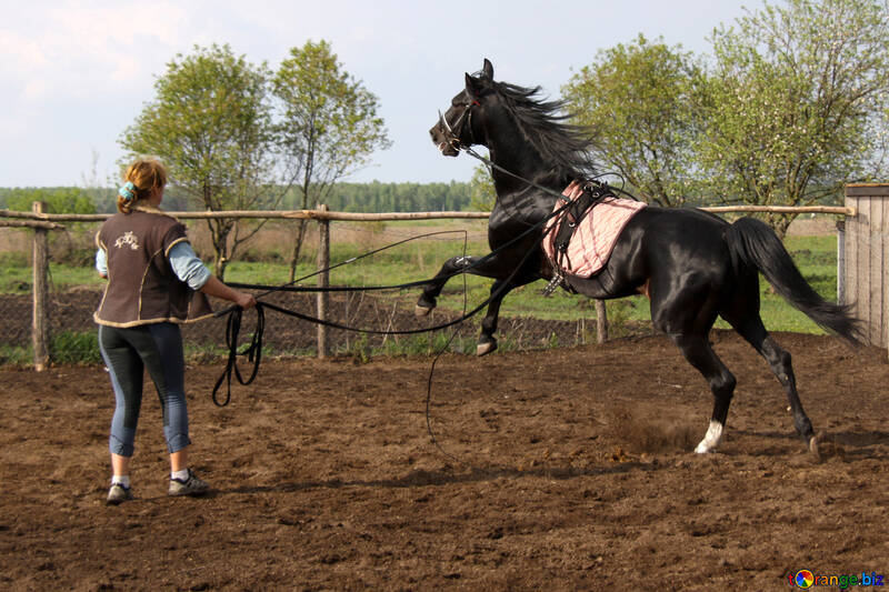 The girl is working with the stallion on the cord №1848