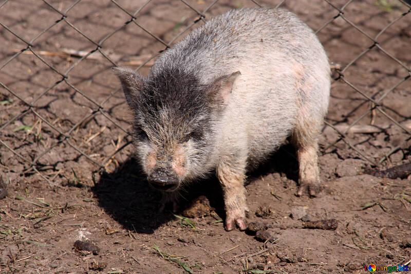 Pig wild №1265