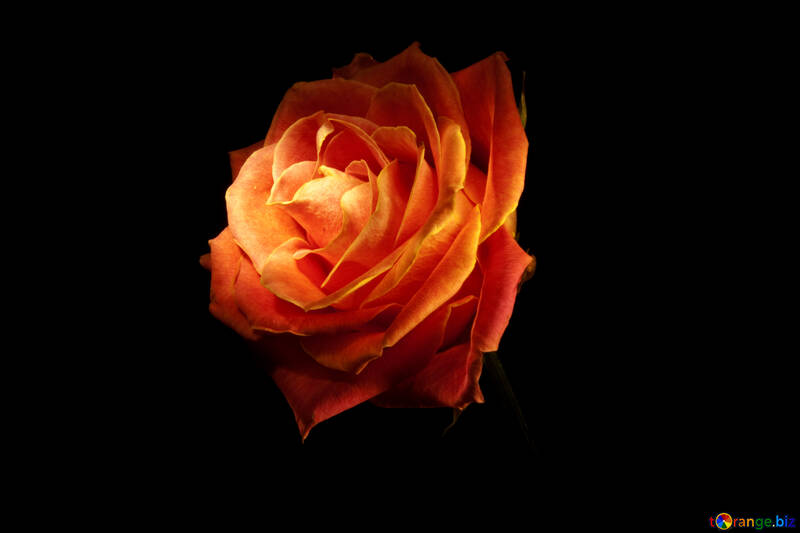 Fire Rose wallpaper for desktop №1236