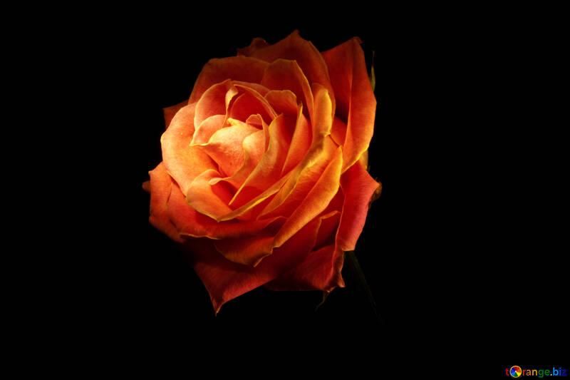 Flowers Roses Isolated Fire Rose Wallpaper For Desktop Rose Flower