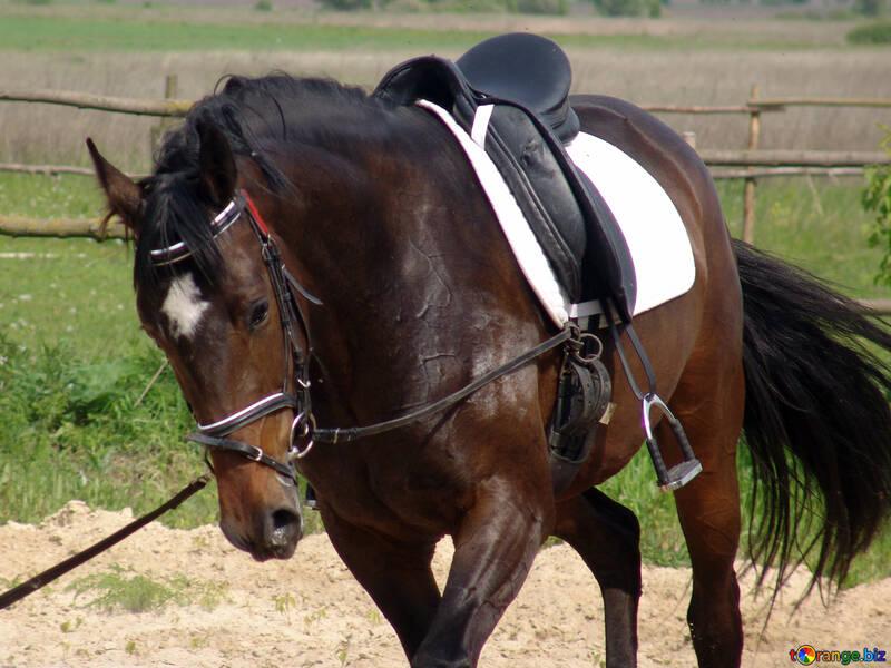Travaillant dans des harnais de chevaux sous la selle №1056