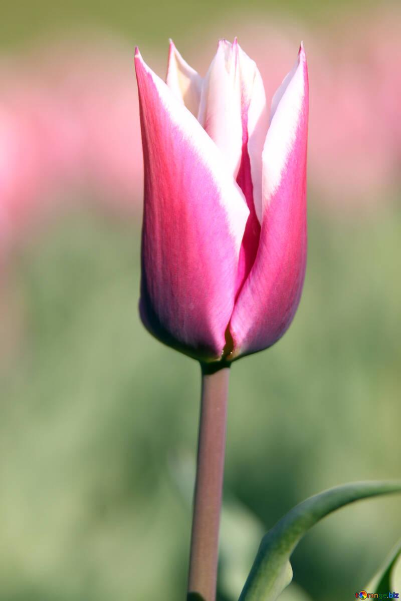 Pink tulip №1658