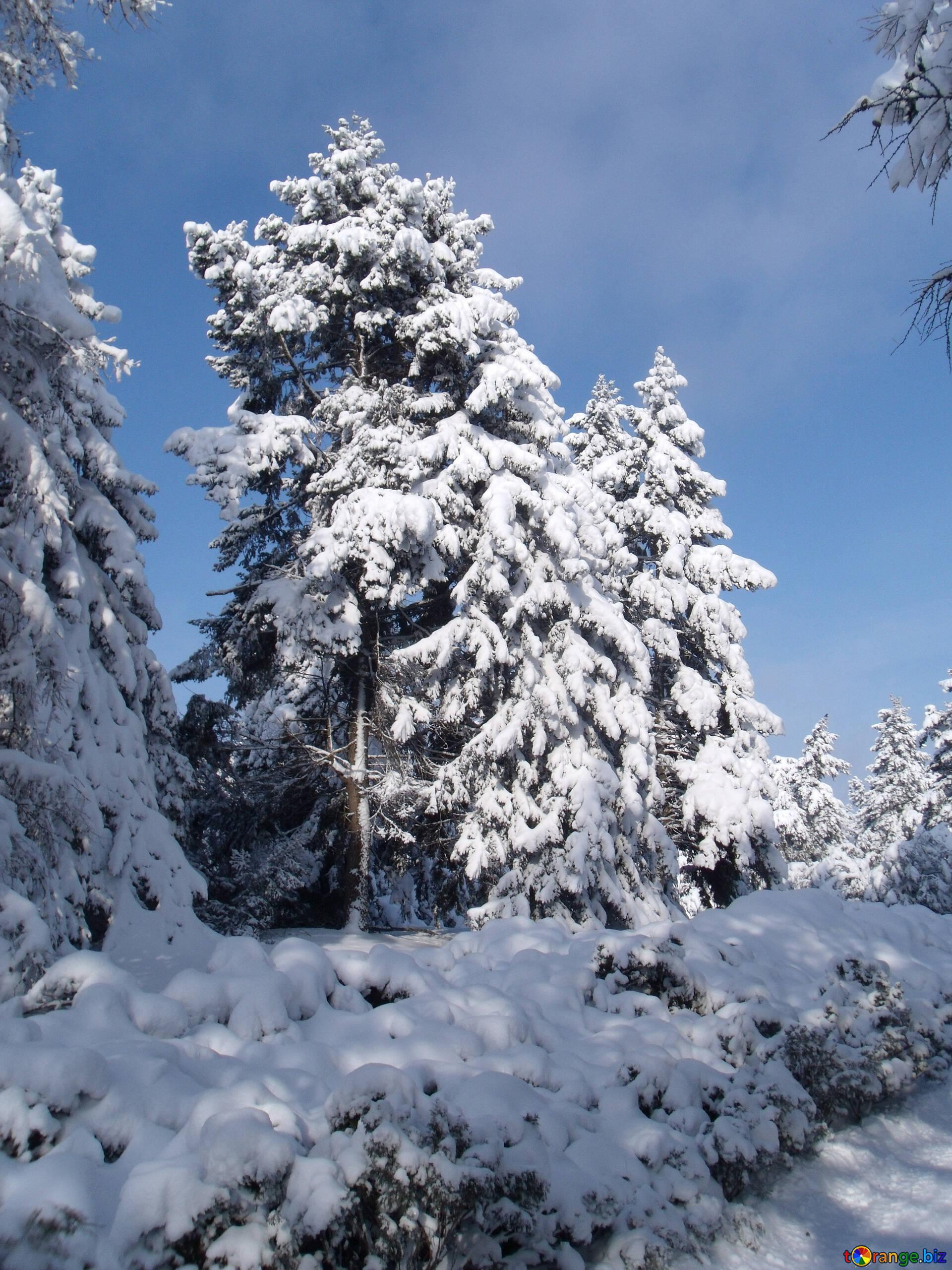 Fichtenzweige mit schnee frost und sonne, schnee und weihnachten ...