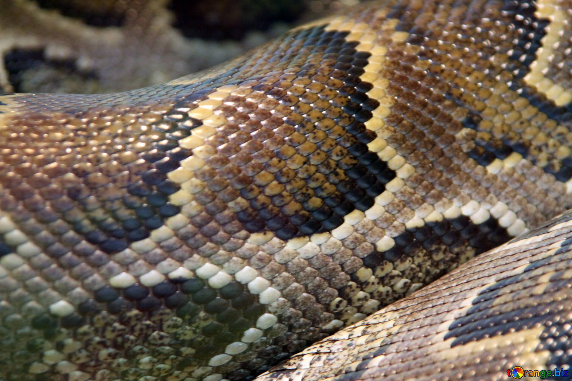 Textura de piel de serpiente textura. pitón. reptil № 10417