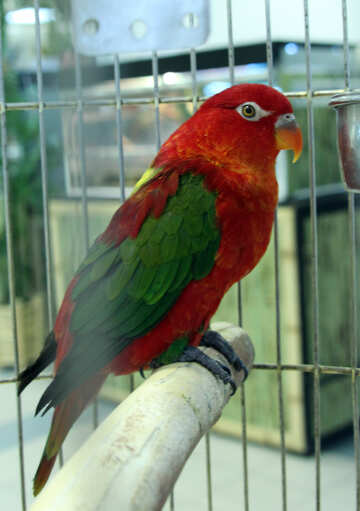 Lory  Parrot №10802