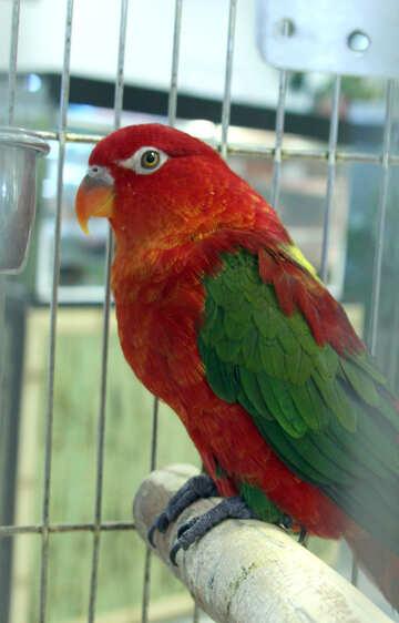 Parrot  Lori №10831