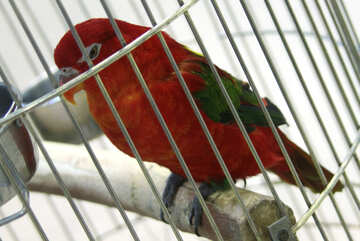 Red  parrot   in cage №10746