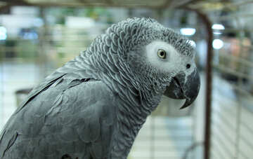 Gray  large  Parrot №10827