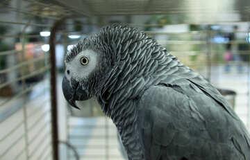 Gray  parrot  Greys №10756
