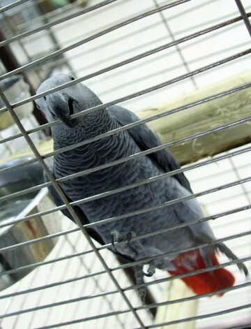 Gray  parrot  Greys  №10793