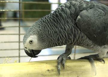 Large  Parrot №10836
