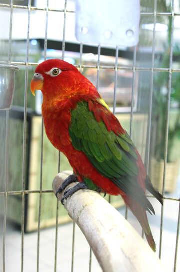 Medium  parrot   №10770