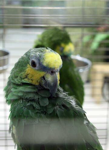 Parrot  Venezuela  Amazon  №10818