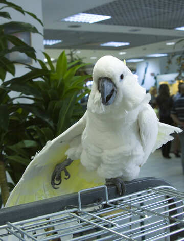 Cockatoo №10741