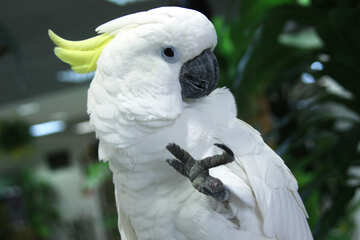 Cockatoo №10778