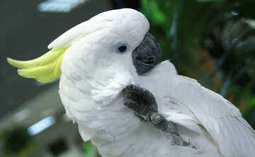 Cockatoo  №10803
