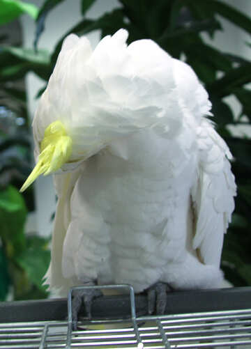 Cockatoo №10804