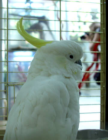 Cockatoo №10813