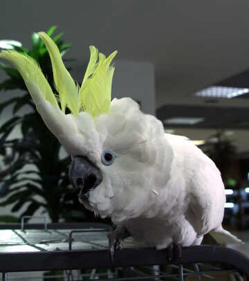 Cockatoo №10820