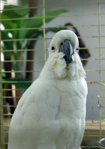 Cockatoo №10828