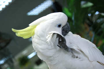 Cockatoo №10839