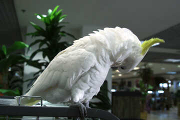 Cockatoo   bent №10796