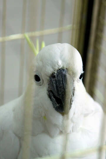 Cockatoo  in  cage №10774