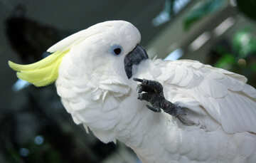 Gay  parrot  Cockatoo №10748