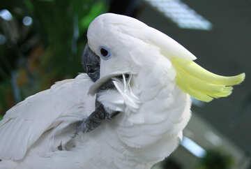 Cockatoo  itchy  №10788