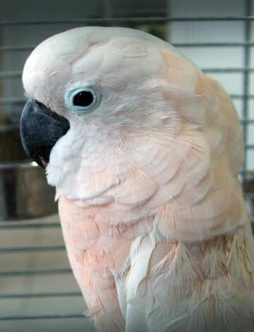 Molucca  Cockatoo №10764