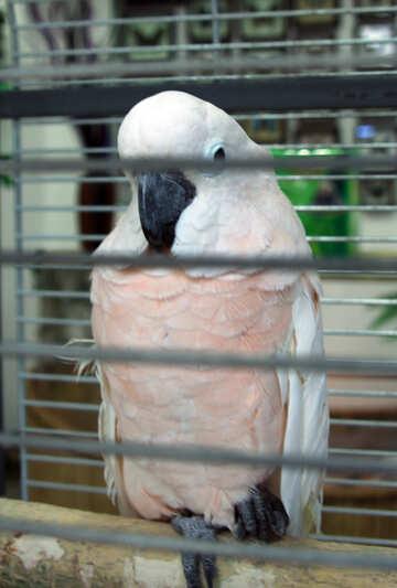 Molucca  Cockatoo №10791
