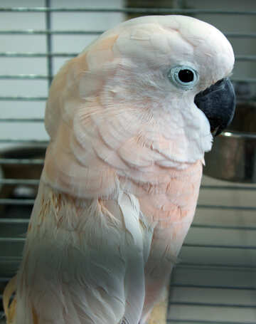 Molucca  Cockatoo №10830