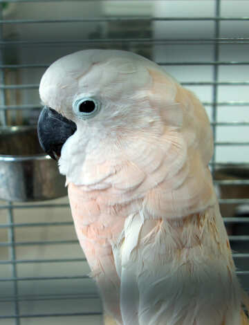Molucca  Cockatoo  Female №10840