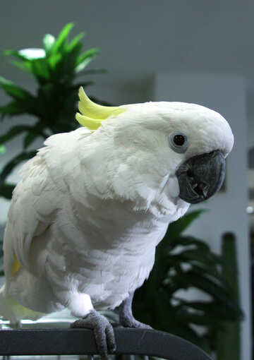 Muzzle  Cockatoo №10795