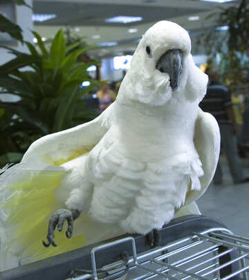 Cockatoo  Posing №10794