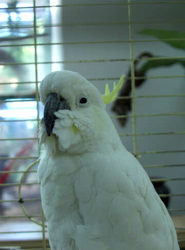 Tricky  parrot  Cockatoo №10798