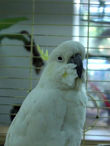 White  parrot  Cockatoo  №10772