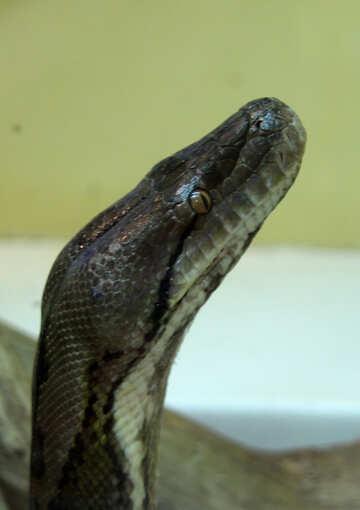 Head  snakes. №10226
