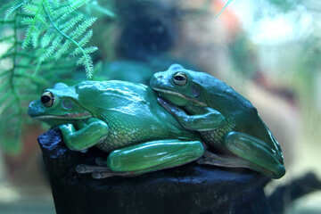 Reproduction  frogs №10131