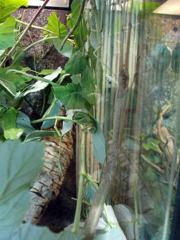 Stick Insects Annamese №10727