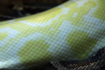 The texture.  Leather  snakes.  Tiger  Python  albino №10174