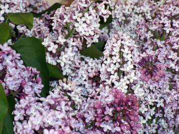 Lilac №10586