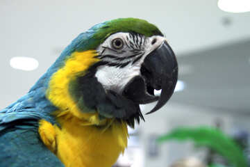 Beak  large  parrot  Macaw №10817