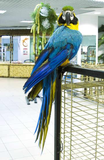 Blue  Macaw №10810