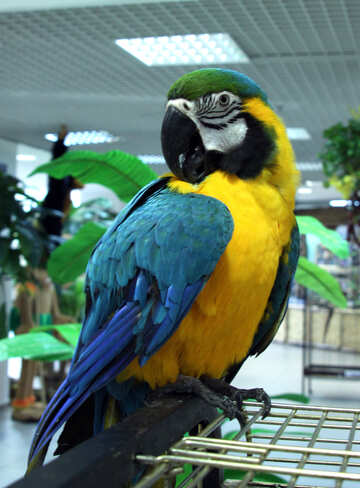 Large  color  parrot  Macaw №10799