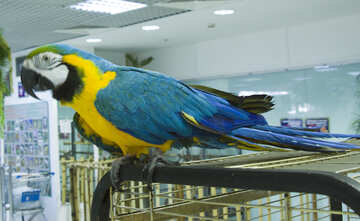Large  parrot  Macaw  at  cage №10749