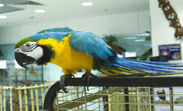 Large  yellow  and  Blue  Macaw №10835