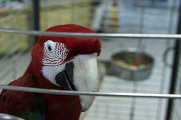 Parrot  Macaw №10743